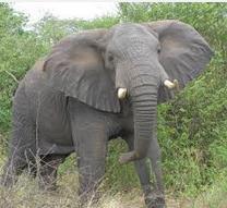 Elephant(new)