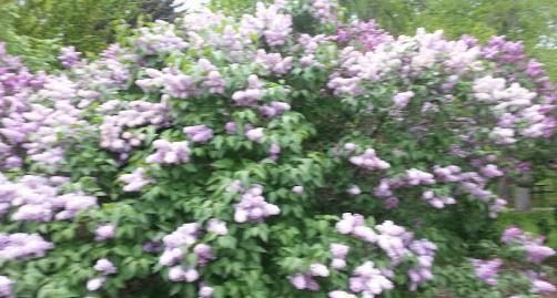 Lilacs4
