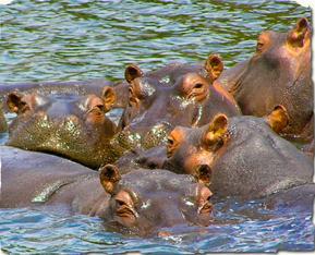 Hippos16