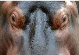 HippoEyes