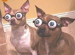 Bug-eyed Chihuahuas