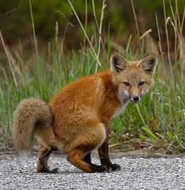 FoxShit