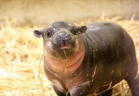 hippos10