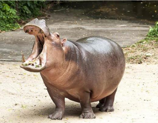 hippos11