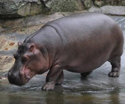 hippos20