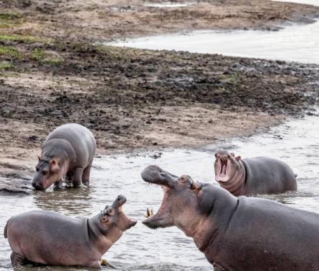 hippos22