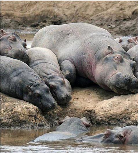 hippos23