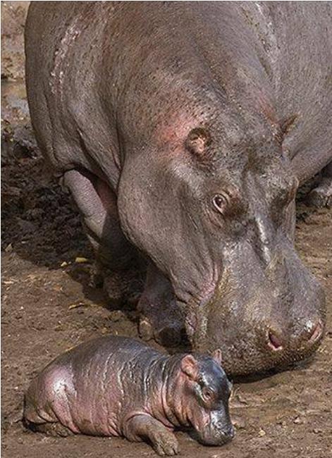 hippos24