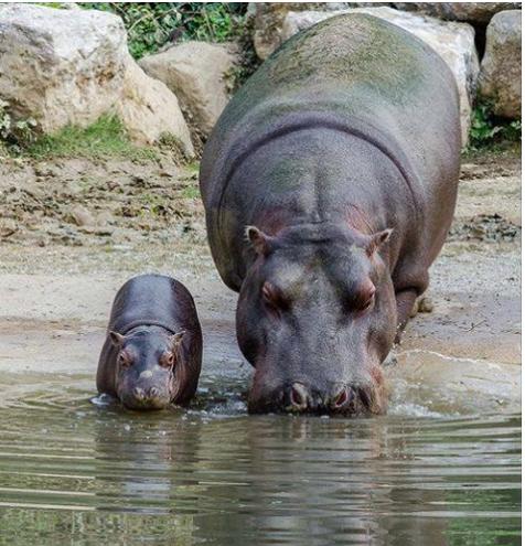 hippos26