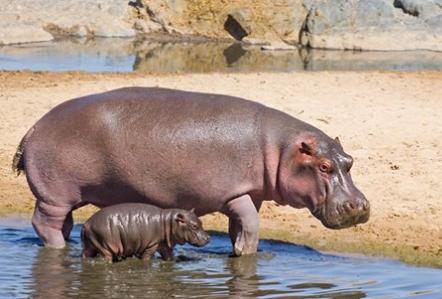 hippos28
