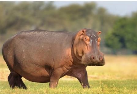 hippos29