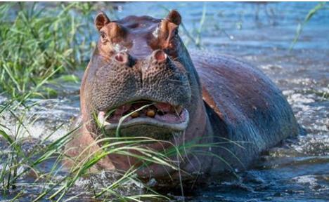 hippos30