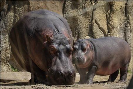 hippos31