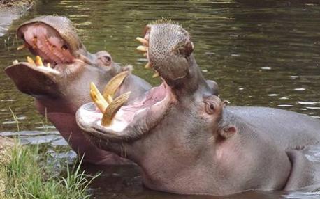 hippos4