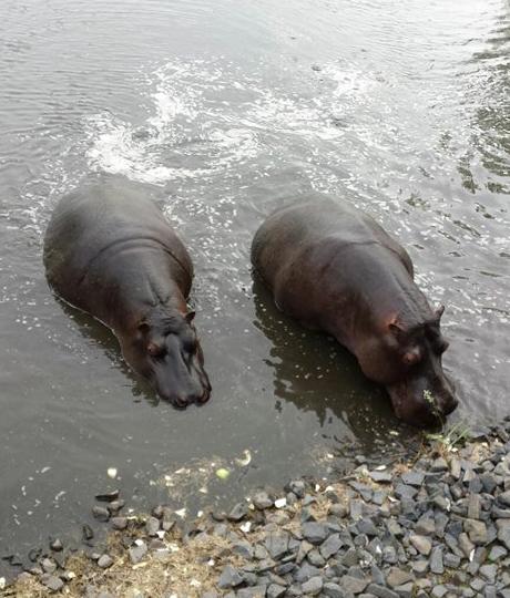 hippos6