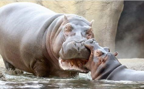 Hippos7