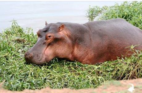 hippos34