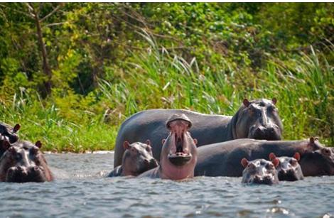 hippos35