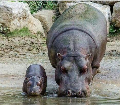 hippos36