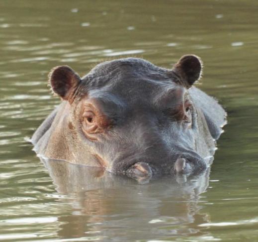 Hippos43Fave.