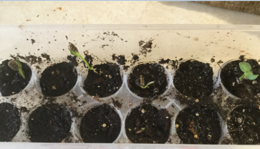 SunflowerSprouts