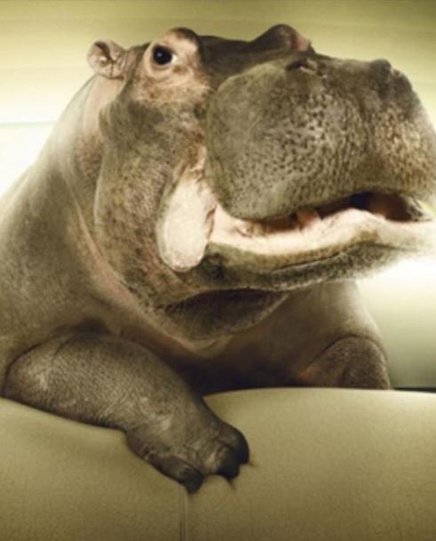 hippos5
