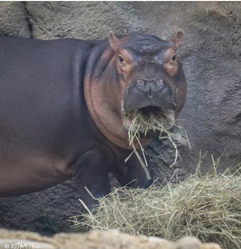 hippos8