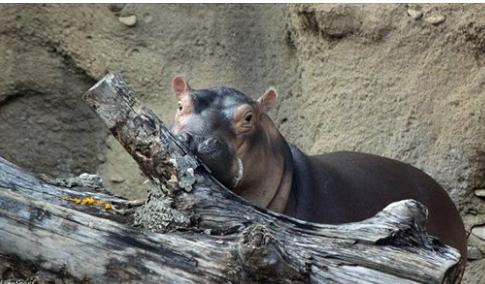 hippos12