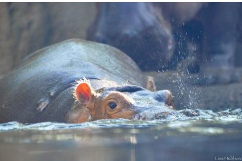hippos13