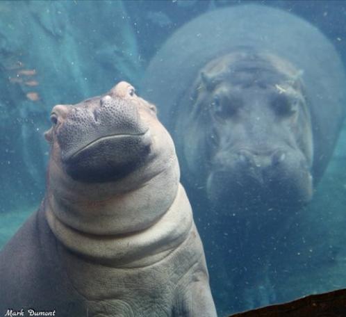 hippos15