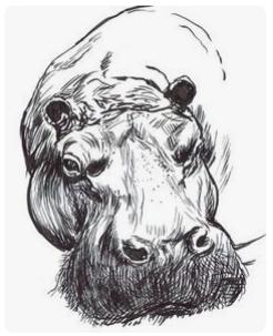 hippos17